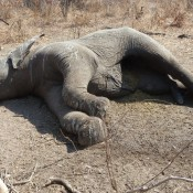 Leaked statistics confirm scale of Tanzania's elephant crisis