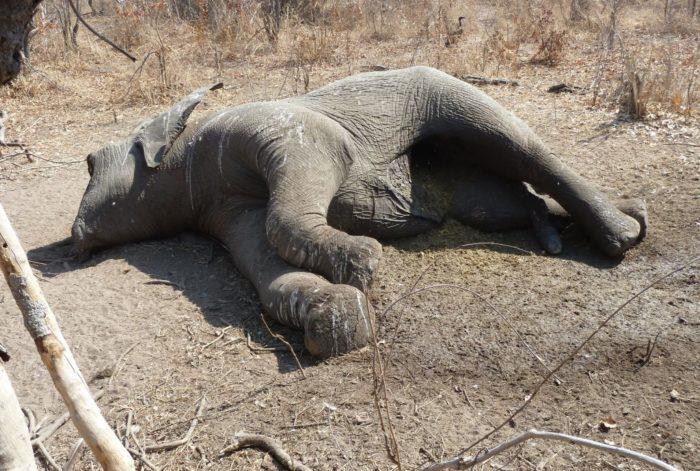 Poached elephant, Ruaha National Park, Tanzania, September 2014 (v) EIA