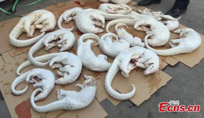 Dead pangolins seized by police in South China's Guangdong province, September 12, 2015 (Photo CFP)