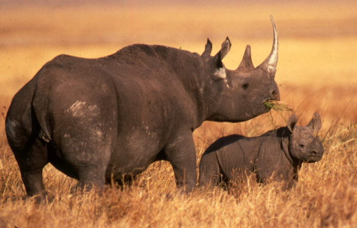 Rhino and young (c) EIA