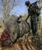 Rhino poached for its horn in South Africa (c) AP SA crop