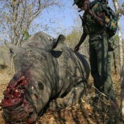 A new rhino poaching remedy to trigger alarm bells?