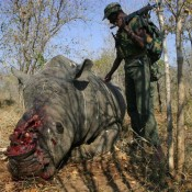 SA's trade plan is 'reckless endangerment of wild rhinos'