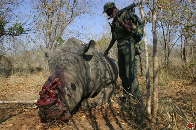 Rhino poached for its horn in South Africa (c) AP SA