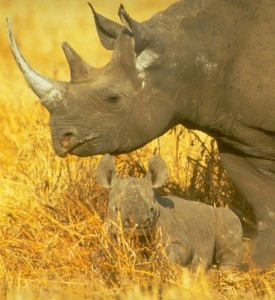 History repeating: The illegal trade in rhino horn - EIA International