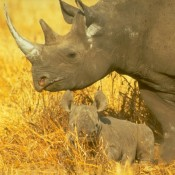 History repeating: The illegal trade in rhino horn