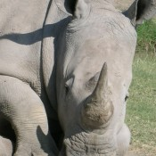 World Rhino Day: facts and fiction about rhino horn trade