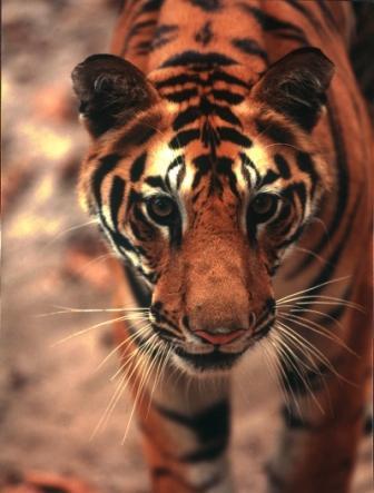 Bengal tiger (c) Robin Hamilton