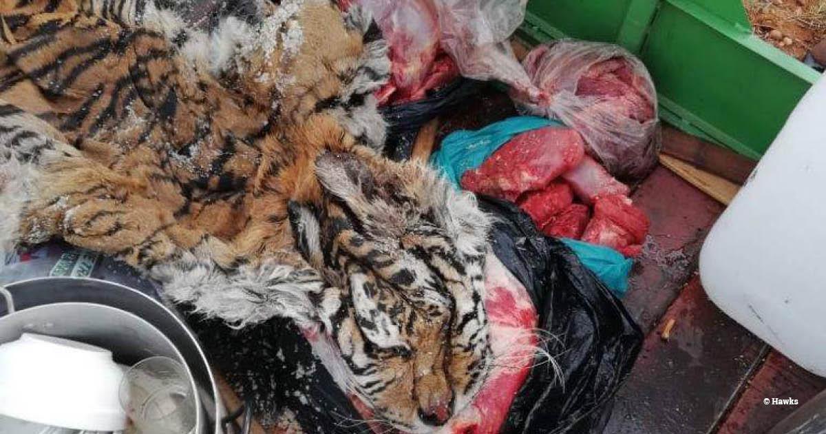 SA tiger skin