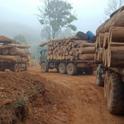 Large number of Trucks on a dirt road in the mist, all loaded with illegal Burmese teak