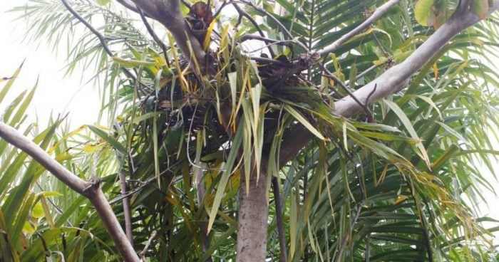 Sebangau orangutan nest