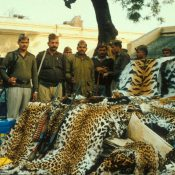 CITES Parties must keep the 'forgotten' big cats in mind