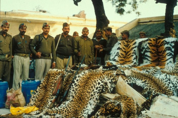 View of the haul of the famous seizure of illegally poached tiger, leopard and otter skins that took place in Khaga, India, January 2000.