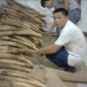 Busted: China Customs dismantles major ivory trafficking syndicate