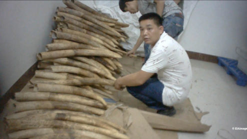 Two Chinese men showing a pile of illegal ivory in a storage room
