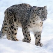 Snow leopards still threatened by consumer demand for their skins and body parts