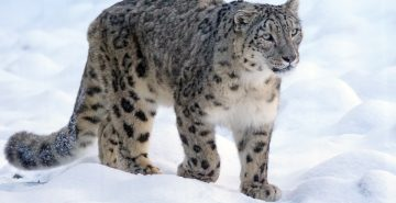 Snow leopard, via Pixabay