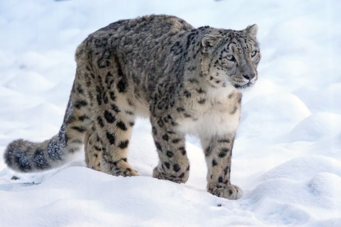 Snow leopard, via Pixabay