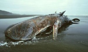 Sperm whale washed up on Spain's south coast died after swallowing plastic debris