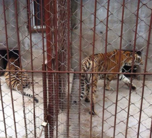 The trade in the skins of captive bred tigers in China perpetuates demand