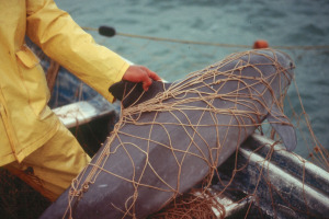The vaquita of the Gulf of California is well on its way to extinction. The cause is bycatch in fishing nets (c) Cristian Faezi & Omar Vidal