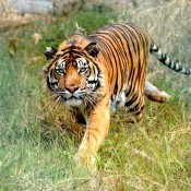 Driven by a burning bright passion to help wild tigers