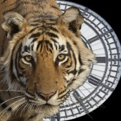 Petition presses China to end all tiger trade