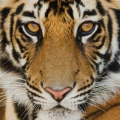 Scratching below the surface to expose tiger trade reality