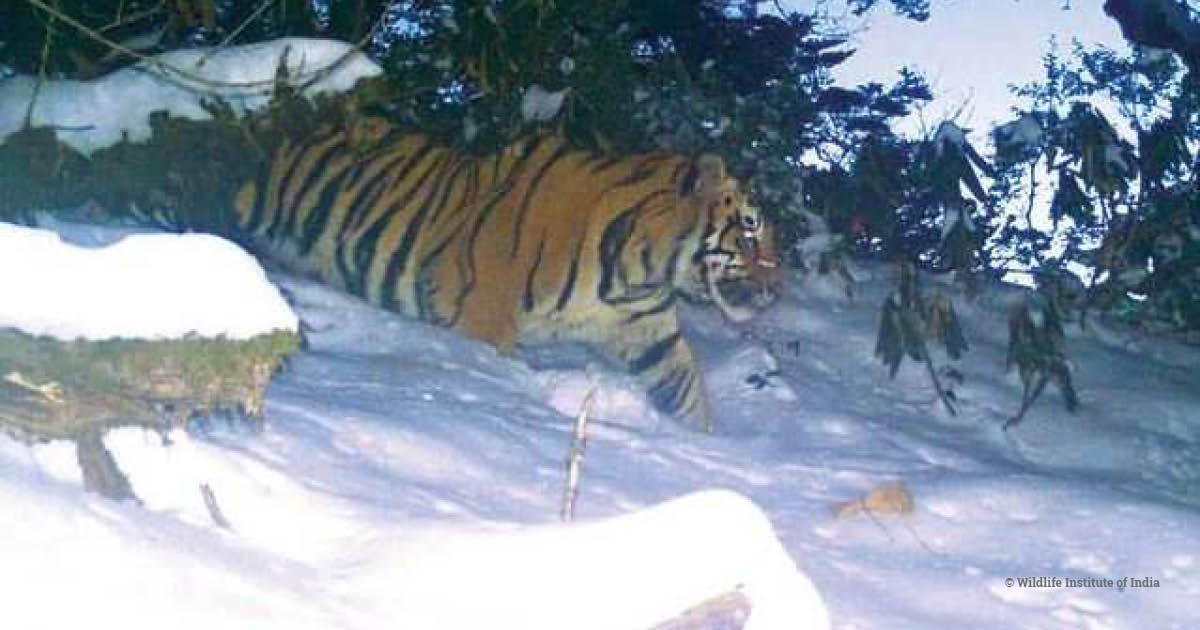 Tiger in snow, Dibang Valley, India