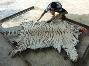 Tiger skin being processed at Xia Feng, China (c) EIA