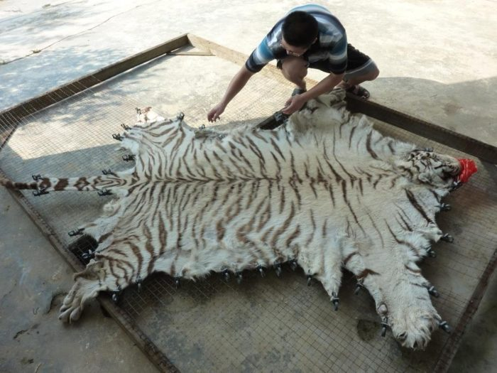 Tiger skin being processed at Xia Feng (c) EIA