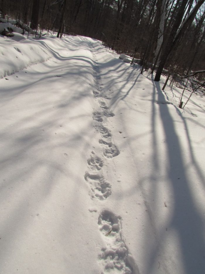 tiger tracks Russia
