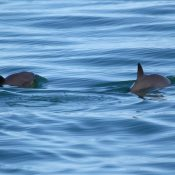 IWC calls for urgent action to save endangered vaquita