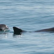 Vaquita down to just 60 – protection urgently needed