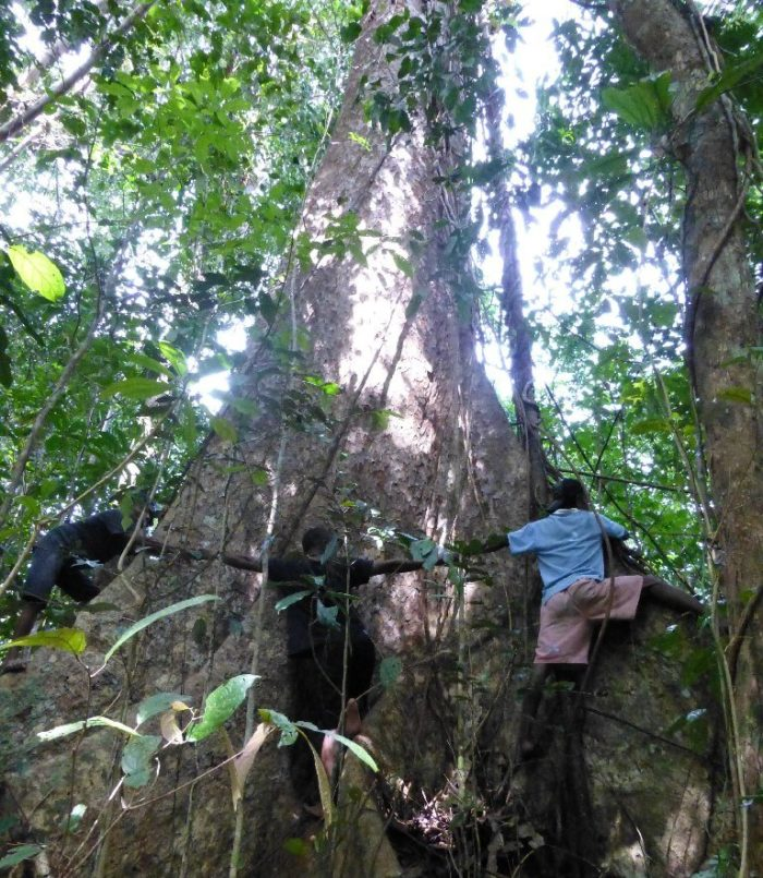 Villagers circle a tree in the threatened Aru islands, Indonesia (c) Forest Watch Indonesia
