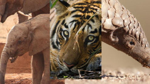 Elephants, Tigers and Pangolins Banner