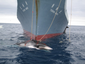 A whale is captured by the Yushin Maru, a Japanese harpoon vessel (c) Customs and Border Protection Service, Commonwealth of Australia
