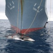 UN court rules Japan's scientific whaling must end