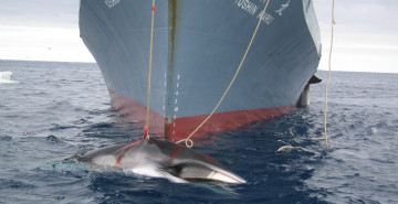 A whale is captured by the Yushin Maru (c) Customs and Border Protection Service Commonwealth of Australia