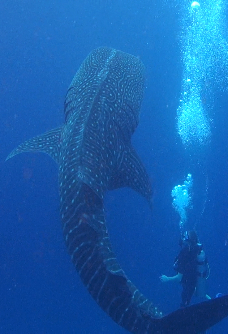Whale shark (c) Chris Milnes