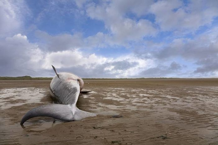Whale stranding has been observed to be particularly frequent after military manoeuvres that deploy extremely loud sonar, via OceanCare