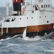 Iceland's image as a whale-watching capital harpooned