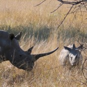 Poaching increases as SA pushes legal rhino horn trade