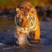 Tale of the tiger's fight for survival is released in the UK