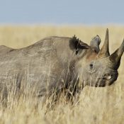 On World Rhino Day 2018, trade data shows no let-up in ongoing crisis