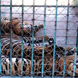 Three captive tigers behind a fence, China