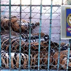 Three tigers lying in an enclosure with an overlay image of a bottle of tiger bone wine