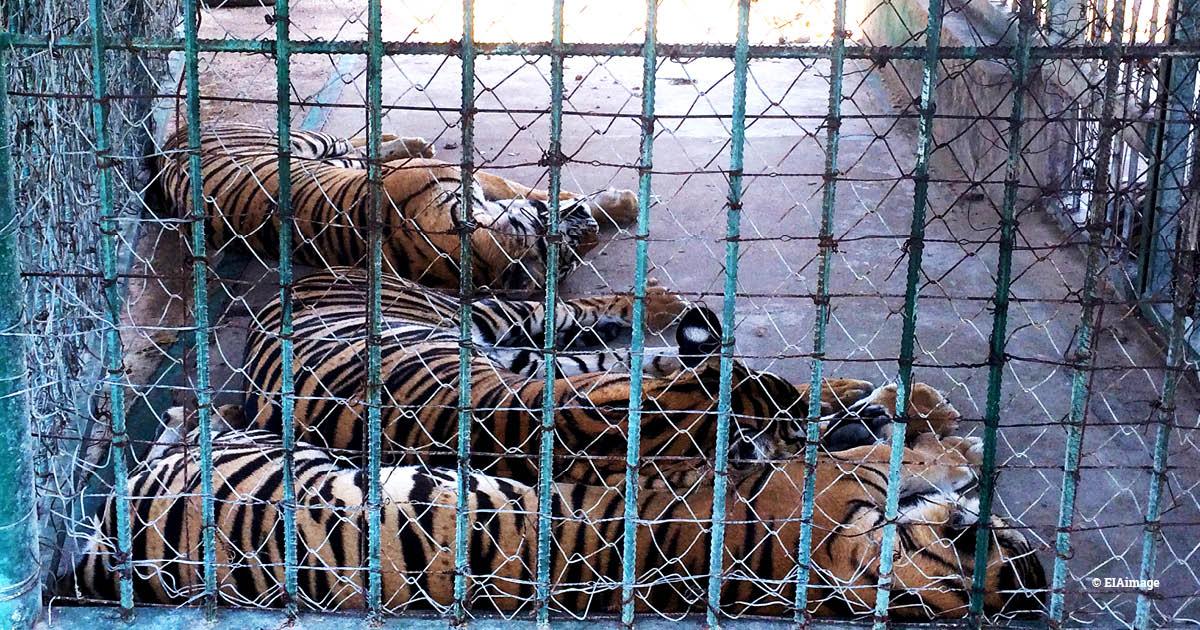 Three captive tigers behind a fence, China