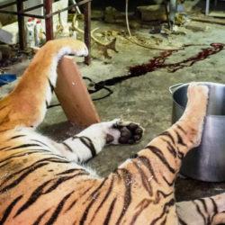 Black market tiger slaughterhouse in the Czech Republic, raided in 2018