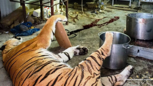 Black market tiger slaughterhouse in the Czech Republic, raided in 2018
